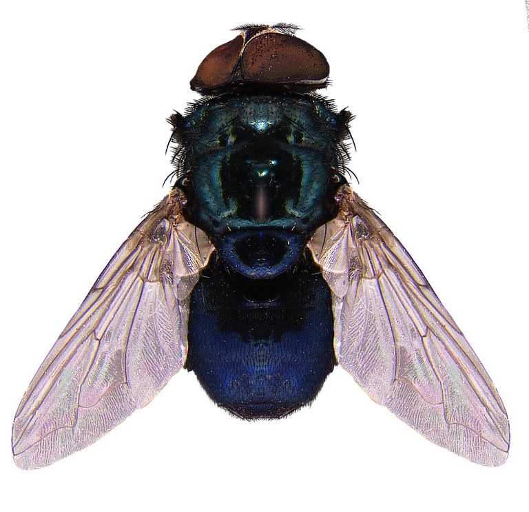 #15 Blow fly
