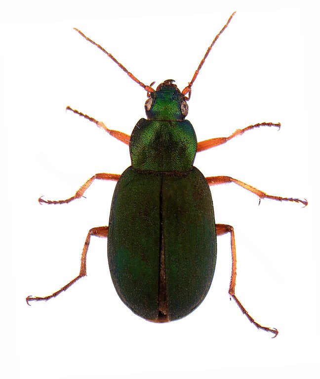 #9 Green pubescent ground beetle