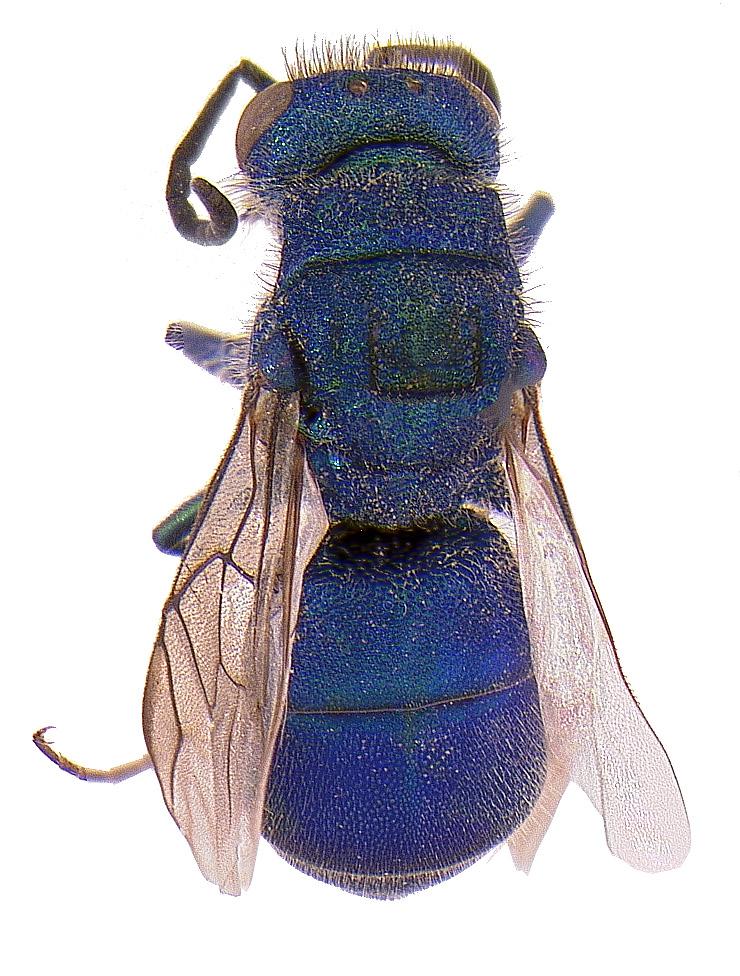 #16 Cuckoo wasp