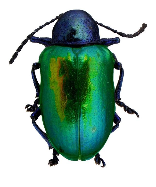 #12 Dogbane beetle