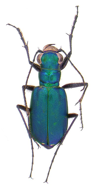 #8 Six spotted tiger beetle