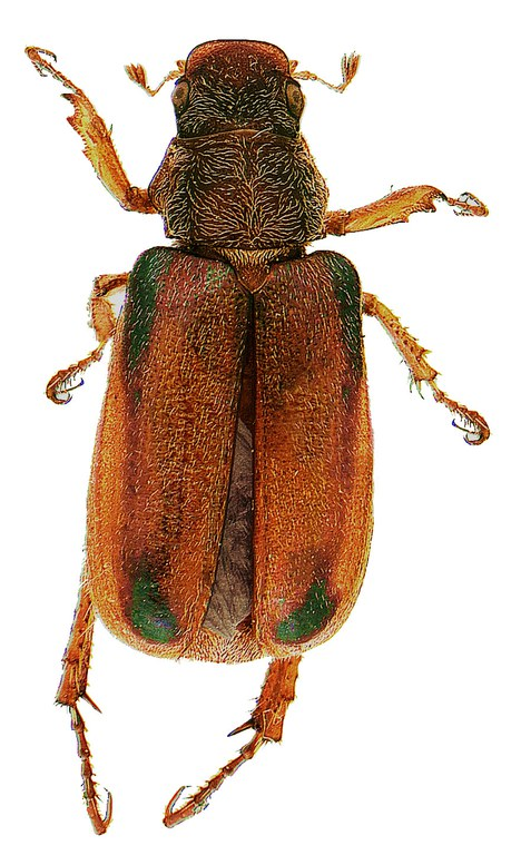 #11 Green marked chafer