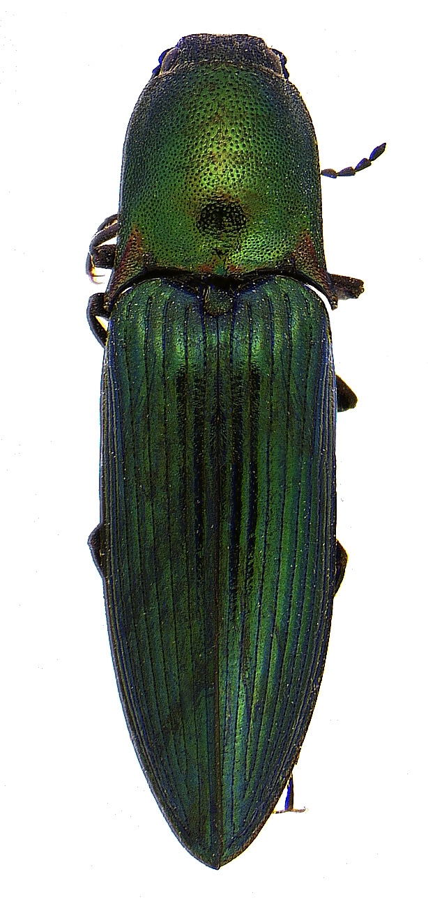 #5 Green click beetle