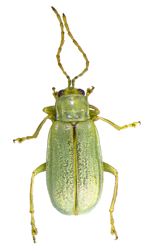 #13 Northern corn rootworm beetle