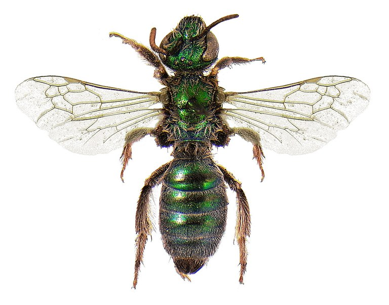 #17 Sweat bee