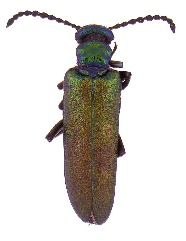 #10 Nuttall blister beetle