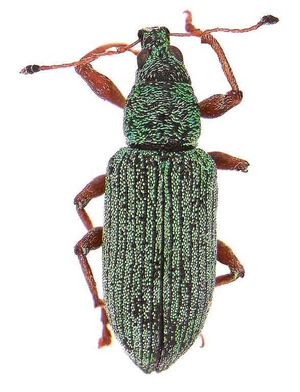 #6 Green Polydrusus weevil
