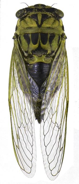 #18 Annual cicada