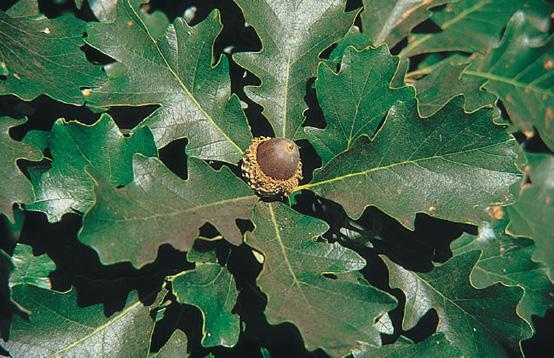 Page 9 Oak acorns