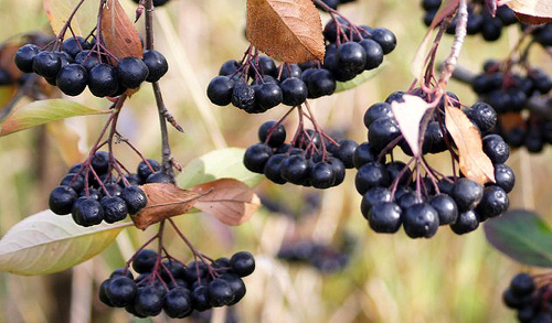 Page 23 Aronia berries