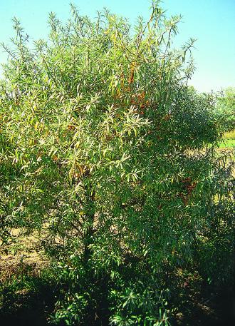 Page 37 seaberry shrub