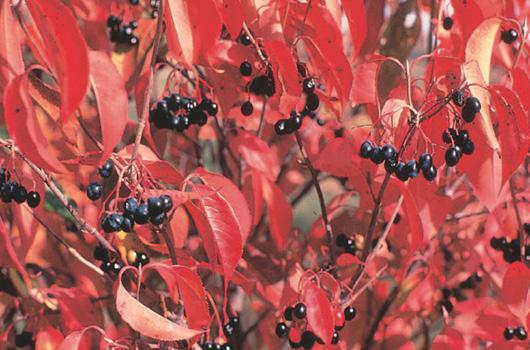 Page 43 viburnum berri