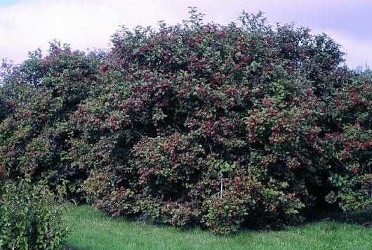 Page 43 viburnum shrub