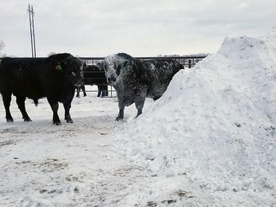 Cows by snow pile