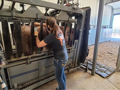 Someone working on cow in stall