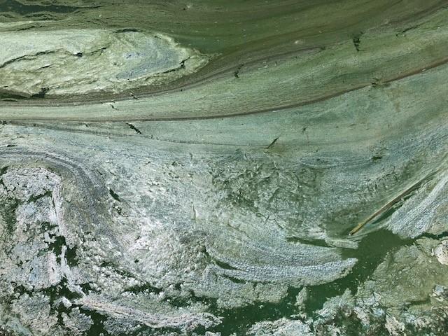 cyanobacteria at Braddock Dam