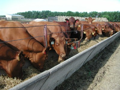 Cows at the feed bunk
