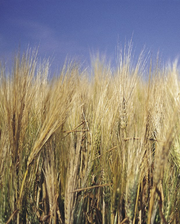 Photo by ND Barley Council