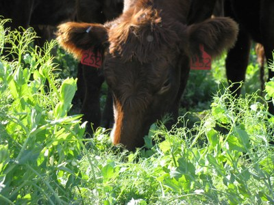Field Pea Grain and Forage for Beef Cattle