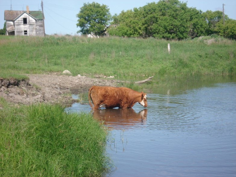 Cow wading in water