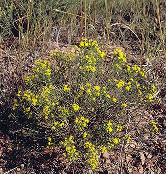 Broom snakeweed
