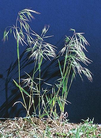Downy brome/Cheatgrass