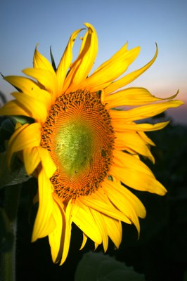 Photo by National Sunflower Assn