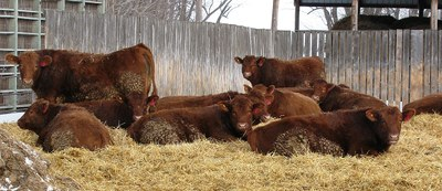 Steers in wheat