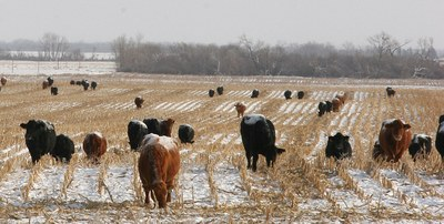 Cattle eating during winter