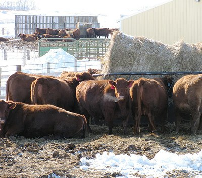 Cattle at Feed