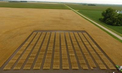 Steele wheat 2017
