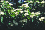 Gray dogwood - foliage and clusters of white flowers