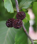 "Mature ""cones"" (fruit) on a Manchurian alder tree"
