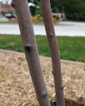 Bark of 'Autumn Brilliance' serviceberry.  Very similar to our native juneberry.