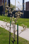 A young 'Autumn Brilliance' serviceberry just past full bloom.