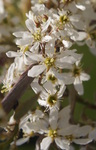 Closeup of a flower of 'Autumn Brilliance' serviceberry.