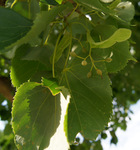 Developing fruit on a 'Harvest Gold' linden.