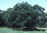 Form of a mature Kentucky coffeetree.