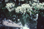 Flowers of the northern catalpa.