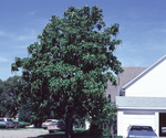 Northern catalpa.