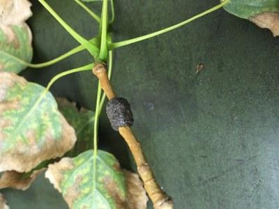 Forest tent caterpillar, eggs, Chandra Langseth, 2017