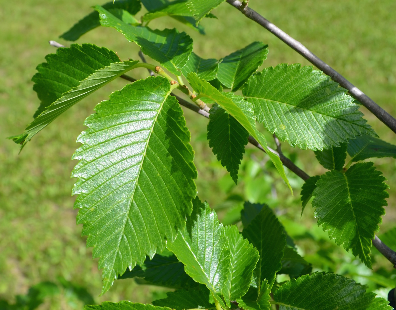 leaves - Prairie Expedition elm