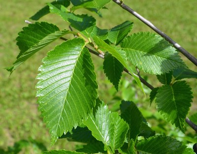 leaves - Prairie Expedition elm