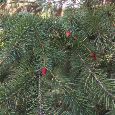 Spruce pollen cone 1