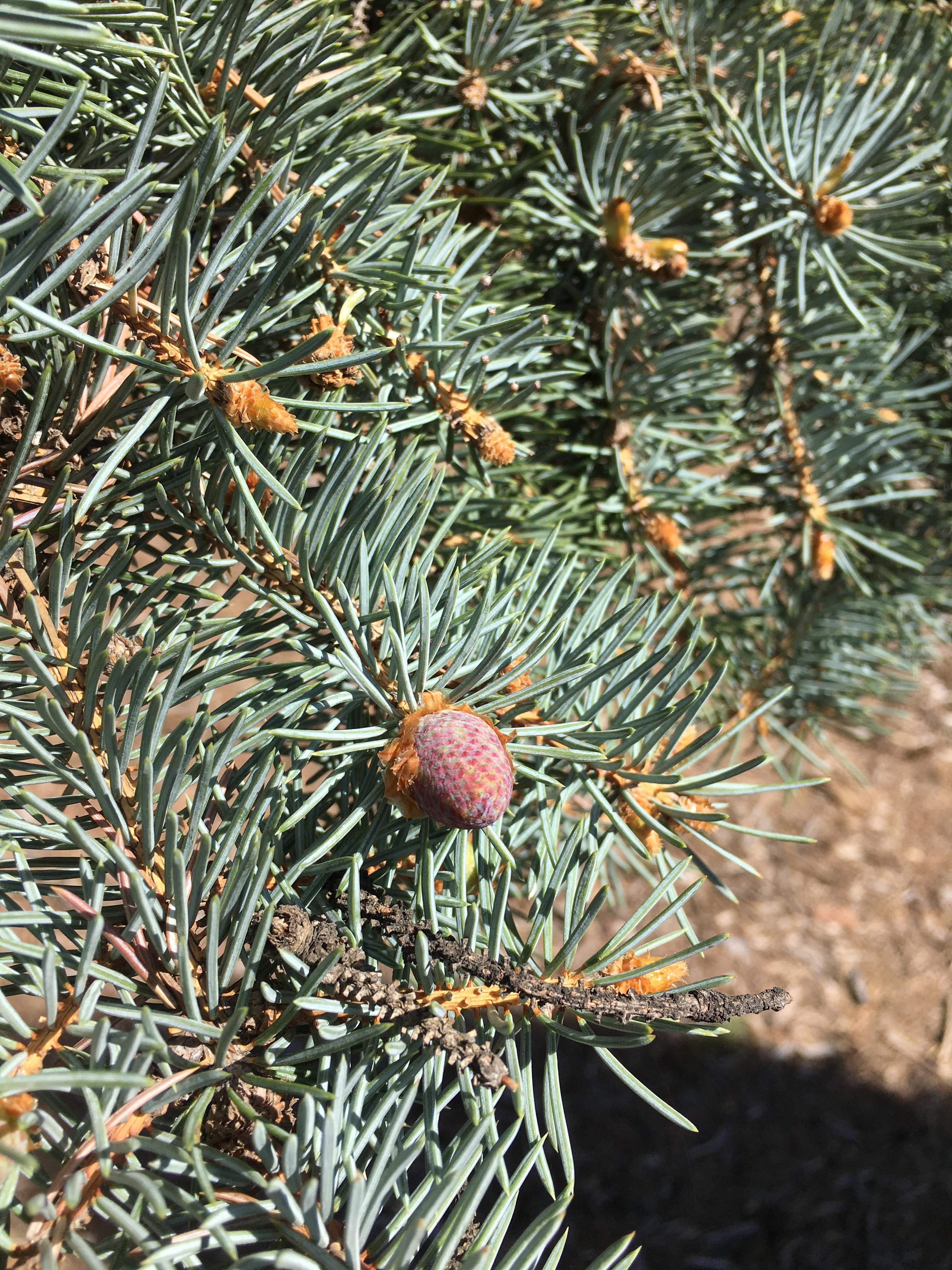 Spruce pollen cone 3