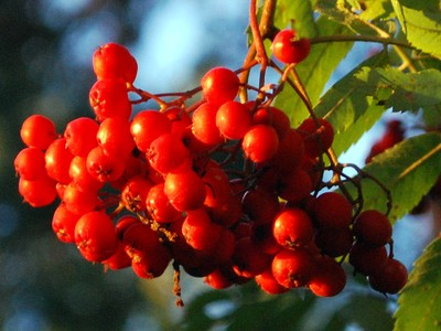 Mountainash berries