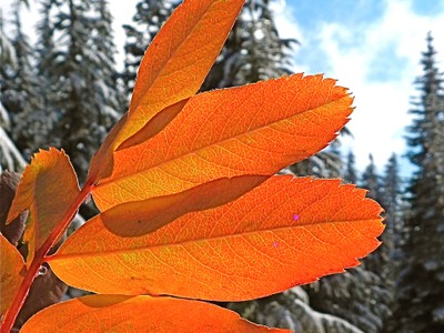 Mountainash fall color