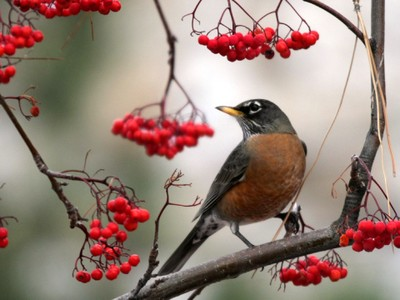 Robin with mountainash berries in early spring