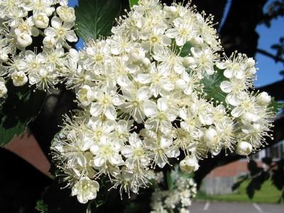 Mountainash flowers