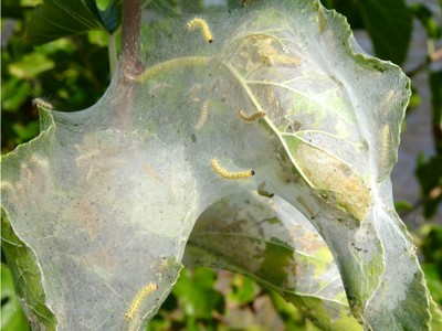 Close-up of fall webworm nest